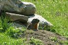 Marmotte à la sortie de son terrier