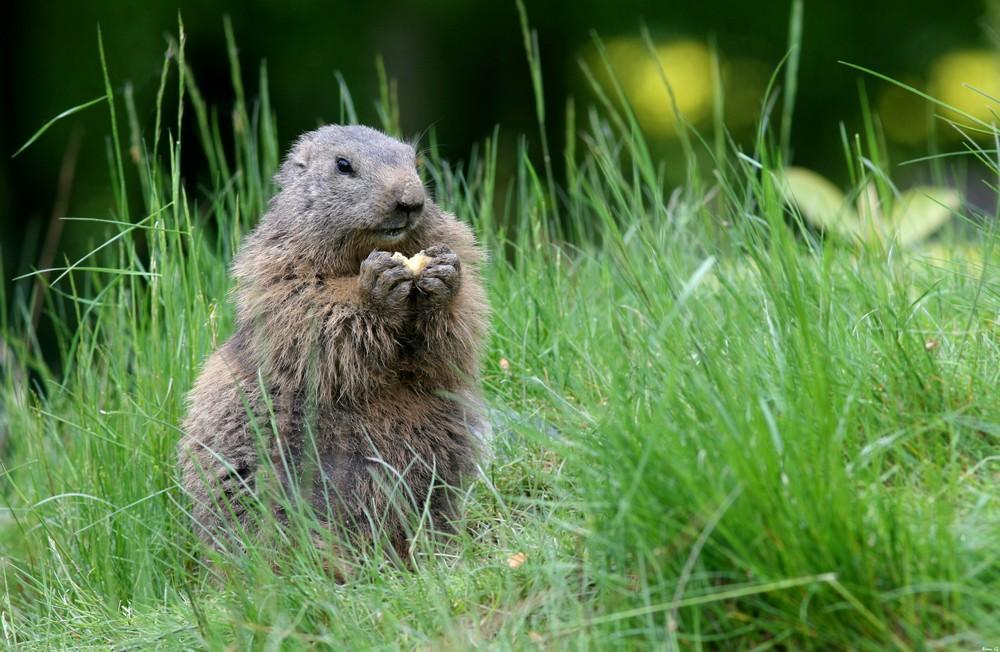 Marmotte à table