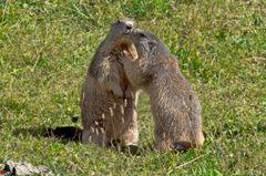 Marmotte al Parco Nazionale Gran Paradiso