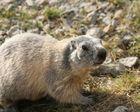 Marmotte bis