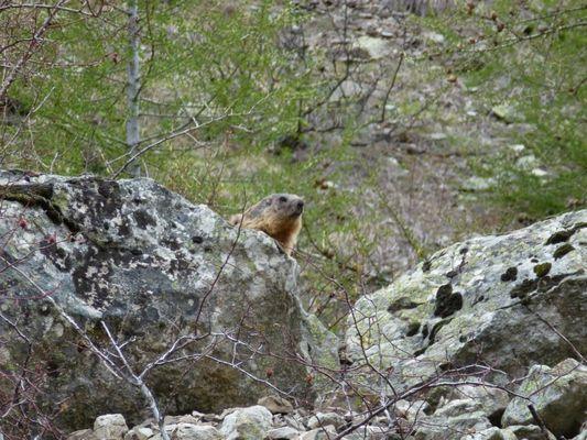 Marmotte de Prapic (hautes-alpes)