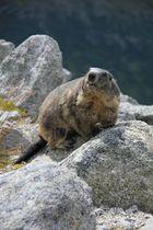 Marmotte du glacier du Rhône