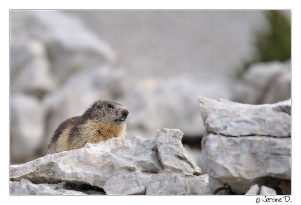 Marmotte du Vercors