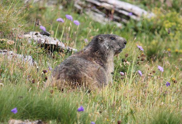 Marmotte ?