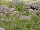 marmotte lac d'allos