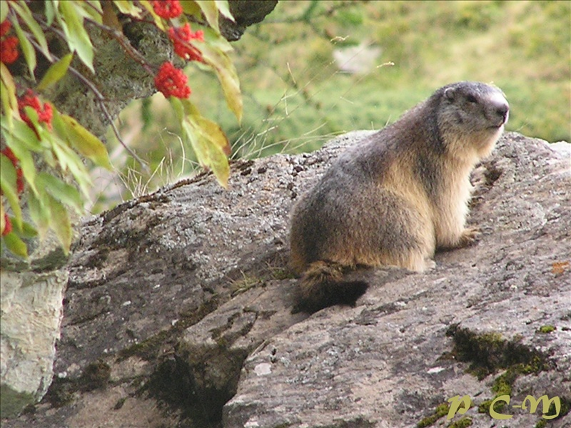 Marmotte Le Valcaudemar du Parc National des Ecrins. (France)