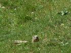 marmotte parc du queyras
