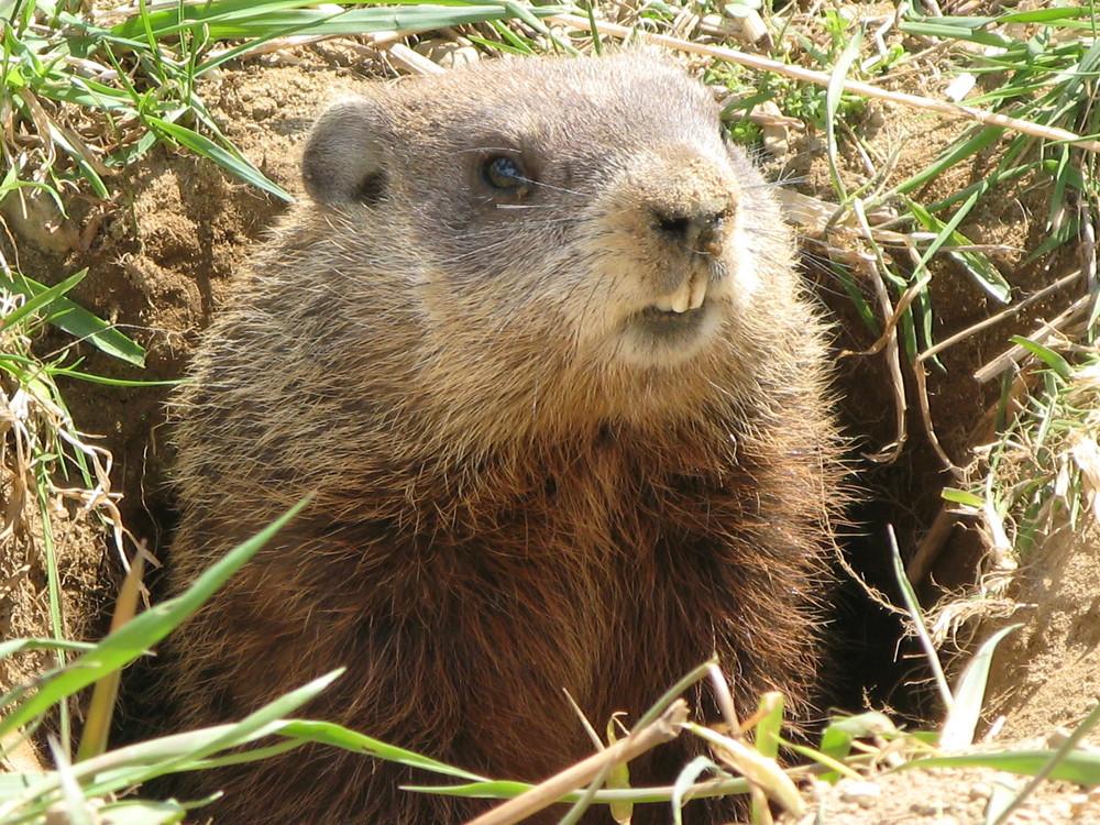 Marmotte québécoise