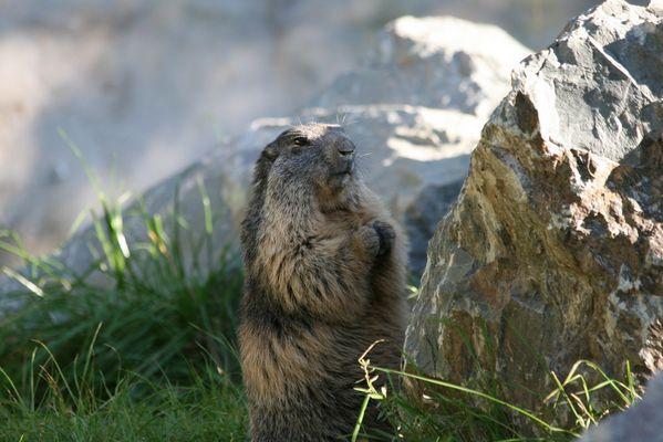 Marmotte qui pose