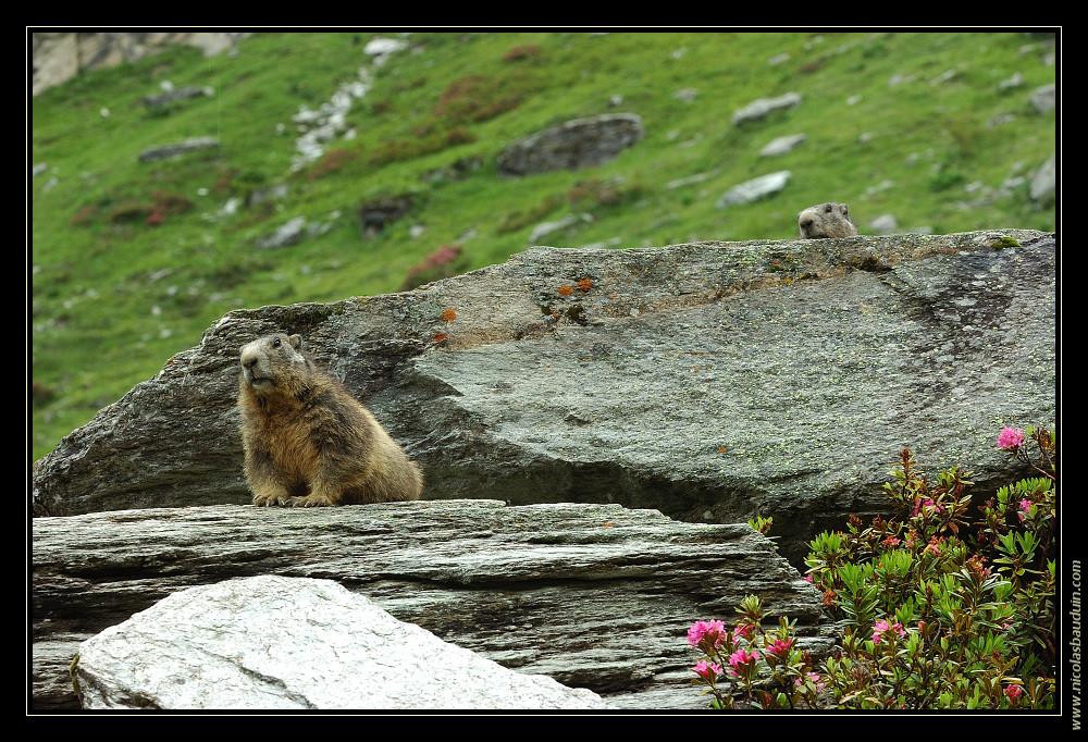 Marmottes - Juillet 2007 - 1