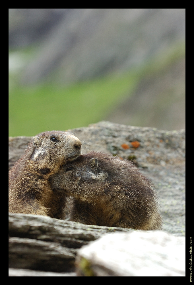 Marmottes - Juillet 2007 - 2