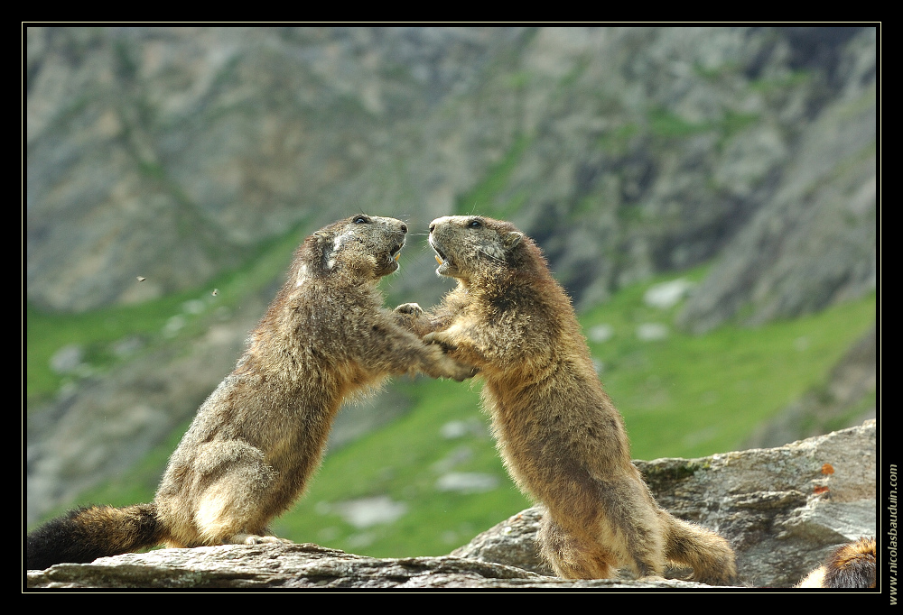 Marmottes - Juillet 2007 - 3