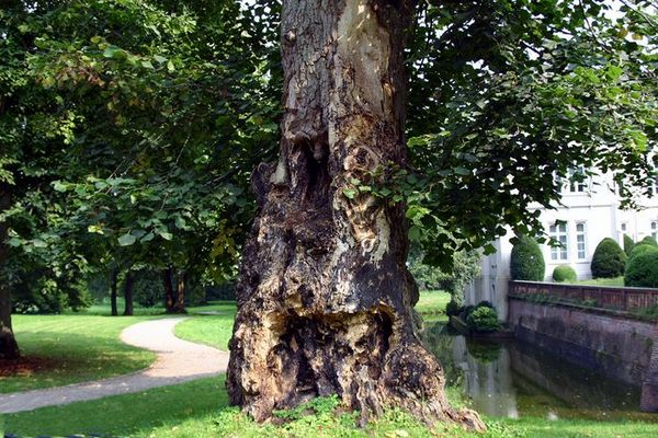 Maroder Baumstamm Schloß Evenburg In Leer Ostfriesland