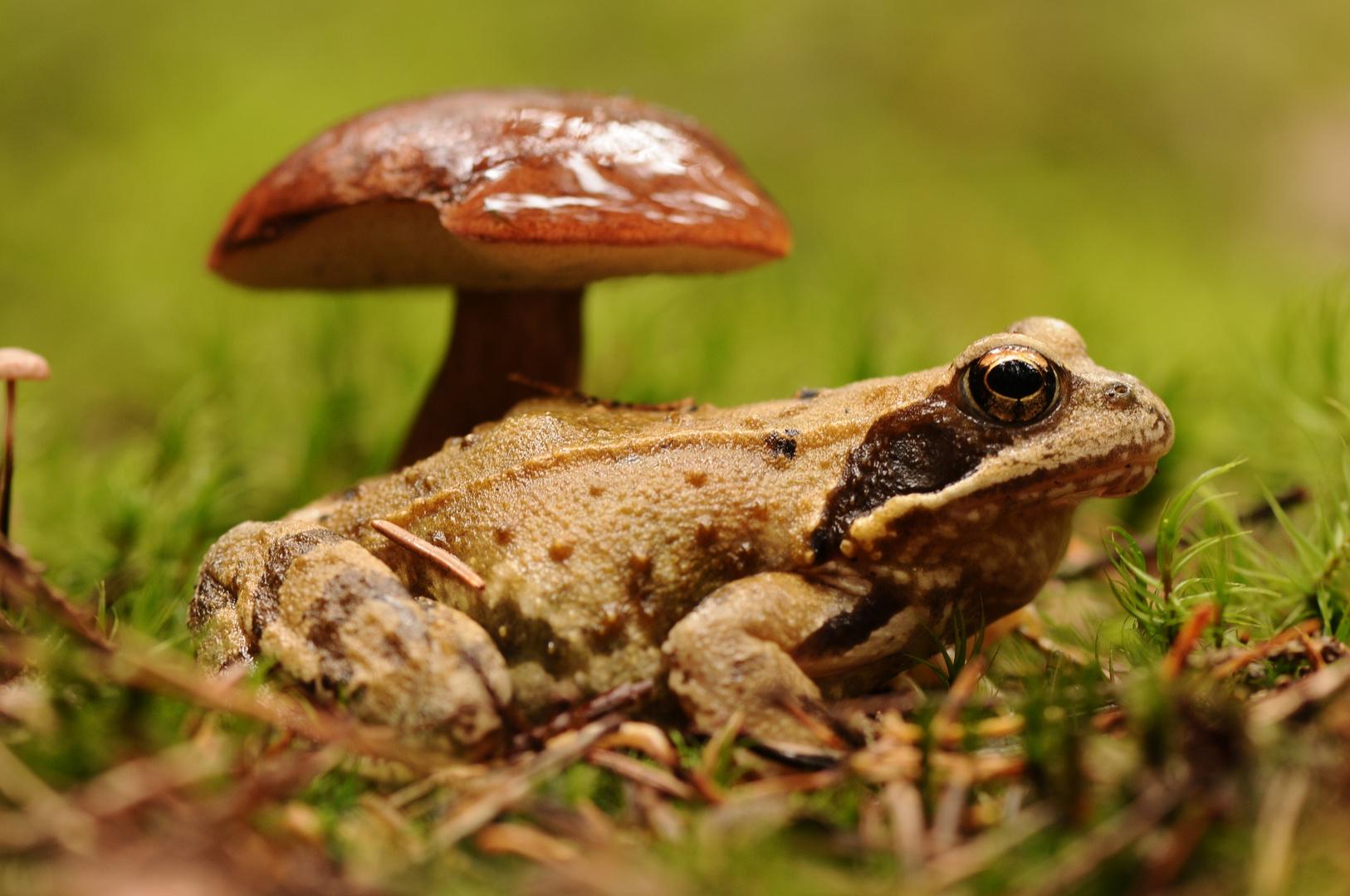 Marone mit Frosch