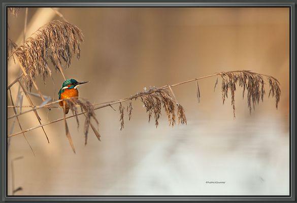 Martin pêcheur étang de la sous en Brenne