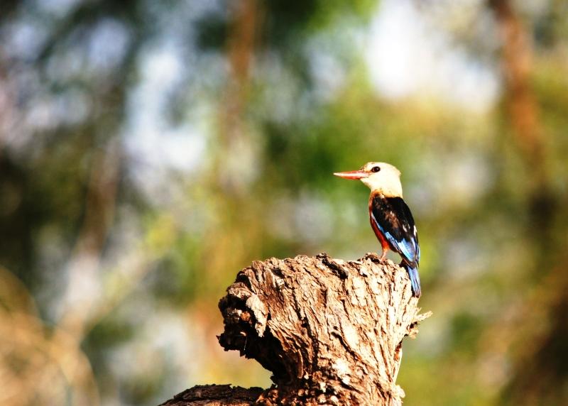Martin-Pêcheur (Kingfisher) - Samburu / Kenya