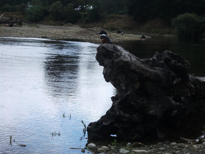 Martin pescador en el tronco - Patagonia el Maqui Osorno Chile
