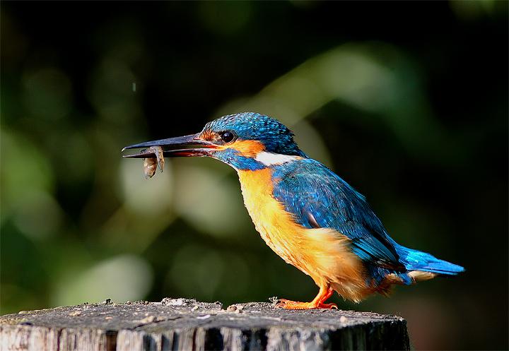 Martin pescatore (Alcedo atthis)