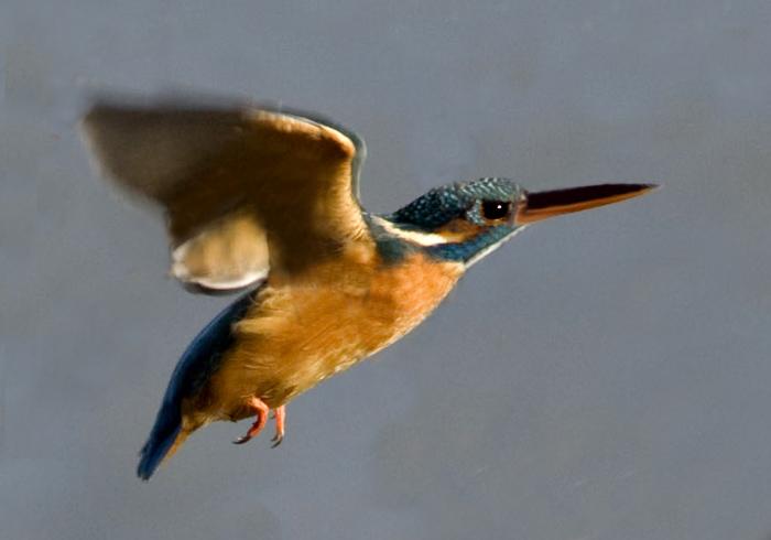 Martin Pescatore in volo