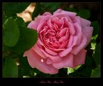 Mary-Rose - Austin-Rose  - Englische Rose