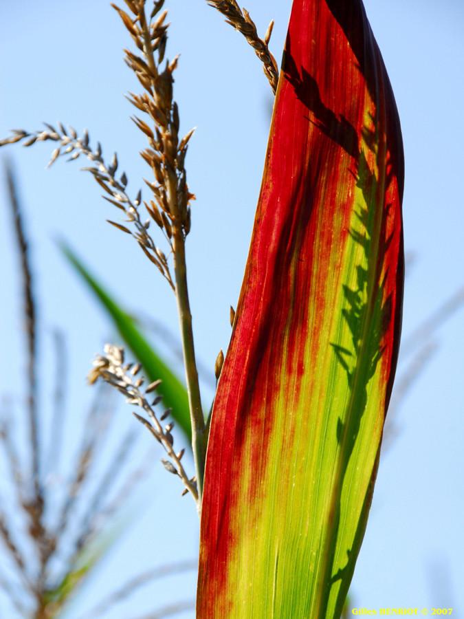 Maïs au soleil