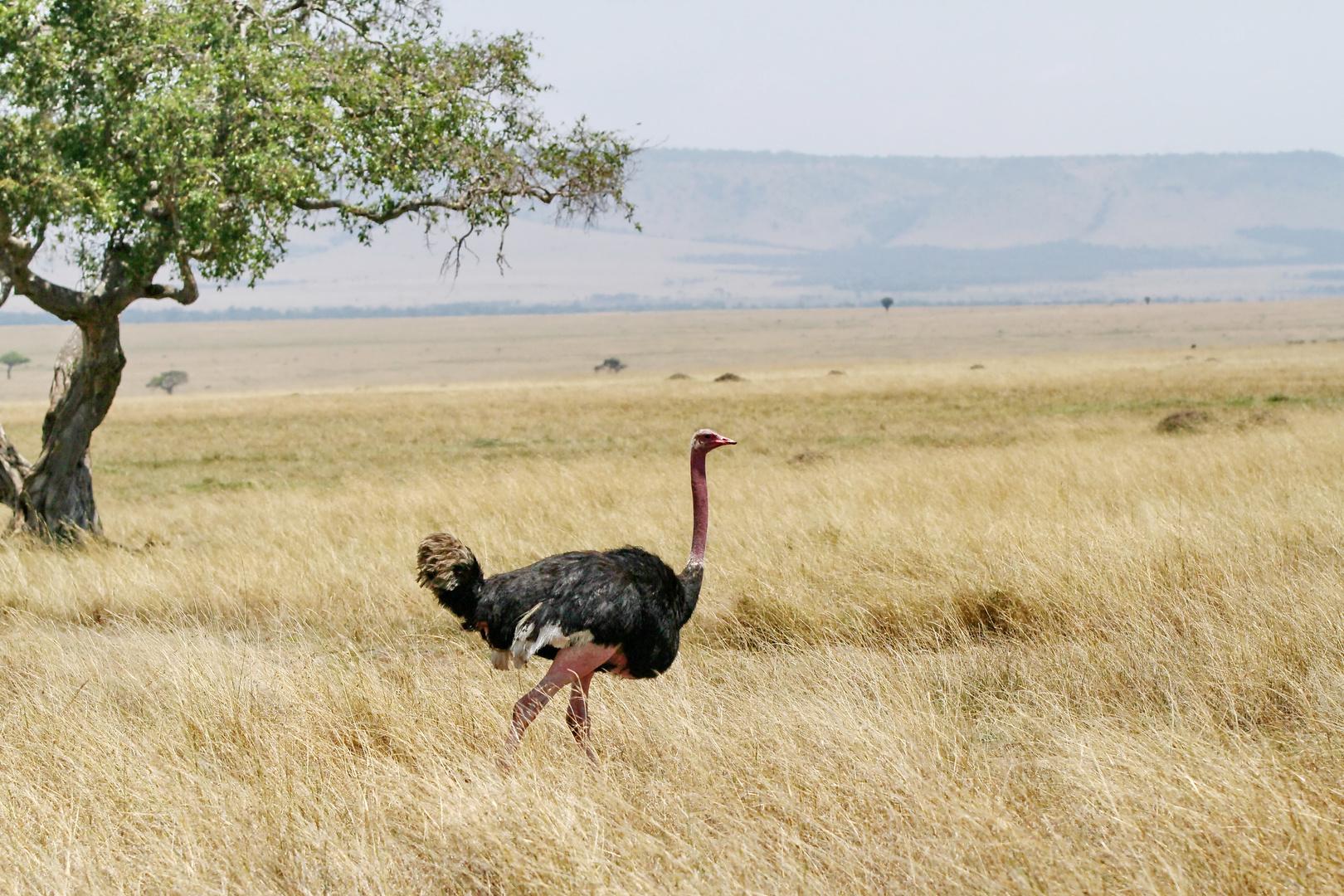 ....Masai-Strauß...