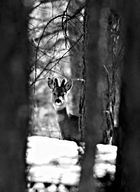 maschio...livrea invernale
