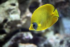 Maskarill-Masken-Falterfisch