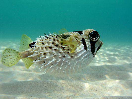 Maskenigelfisch