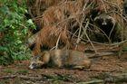 Maskierte Räuber ( Waschbären captive)
