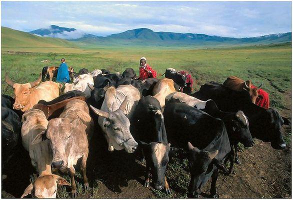 Massai mit Rinderherde