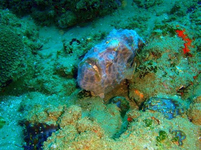 Masters of camouflage: Rundflecken Anglerfish