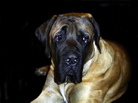 Mastiff Triton