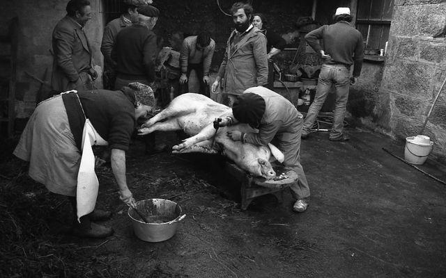 Matanza del cerdo 3 - DESANGRADO