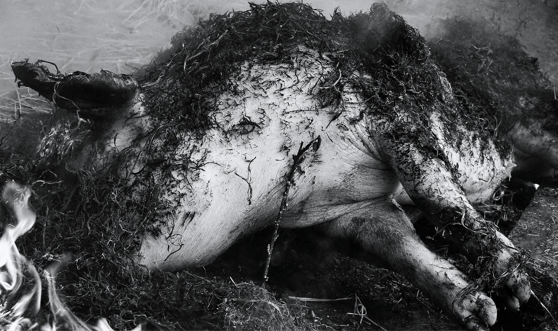 matanza do porco