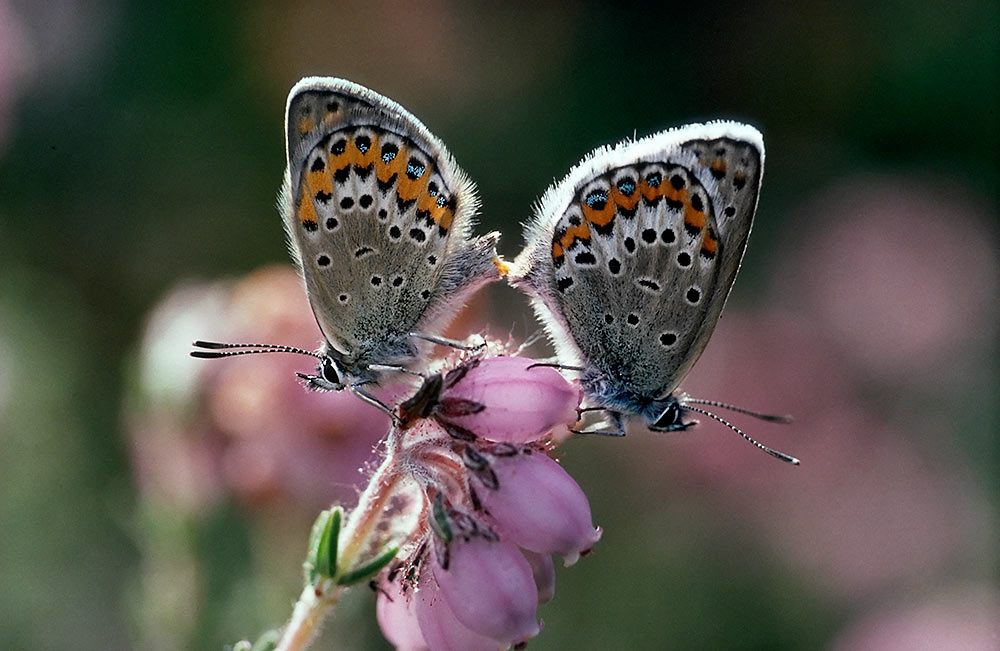 Mating couple of Idas Blue or Plebejus idas