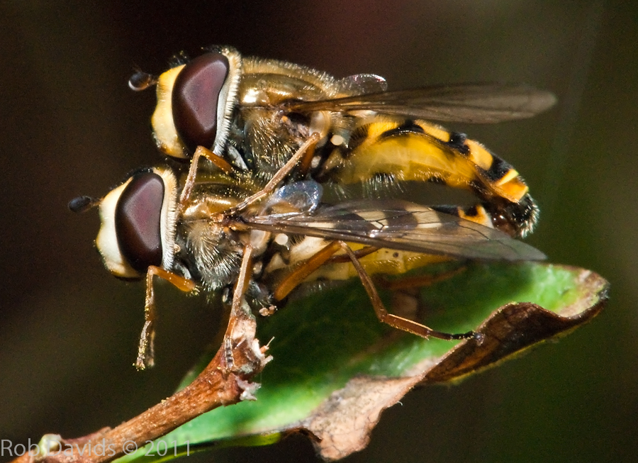 Mating Hoverfly's