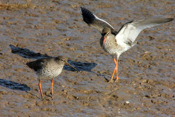 Mating Redshanks