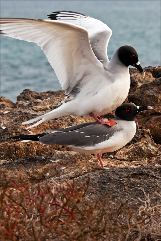 [ Mating Swallow-tailed Gulls ]