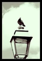Maître Pigeon