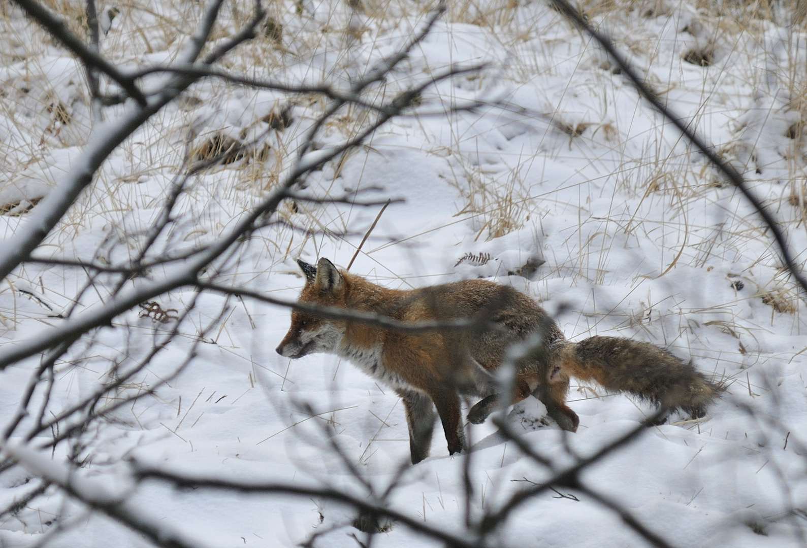 Maître renard marque son territoire