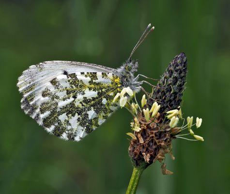 Mattfleckiger Weissling (Euchloe simplonia). --- Un papillon qui se repose!