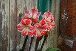 Mauer-Blume