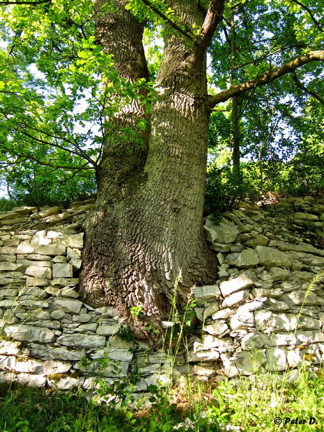 Mauerbaum