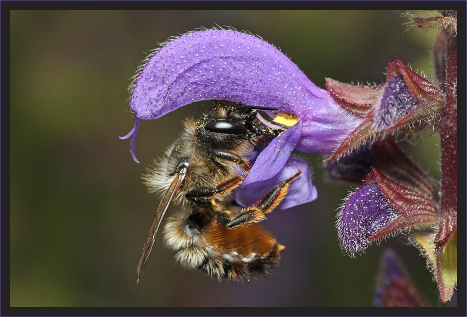 Mauerbiene an Salbei