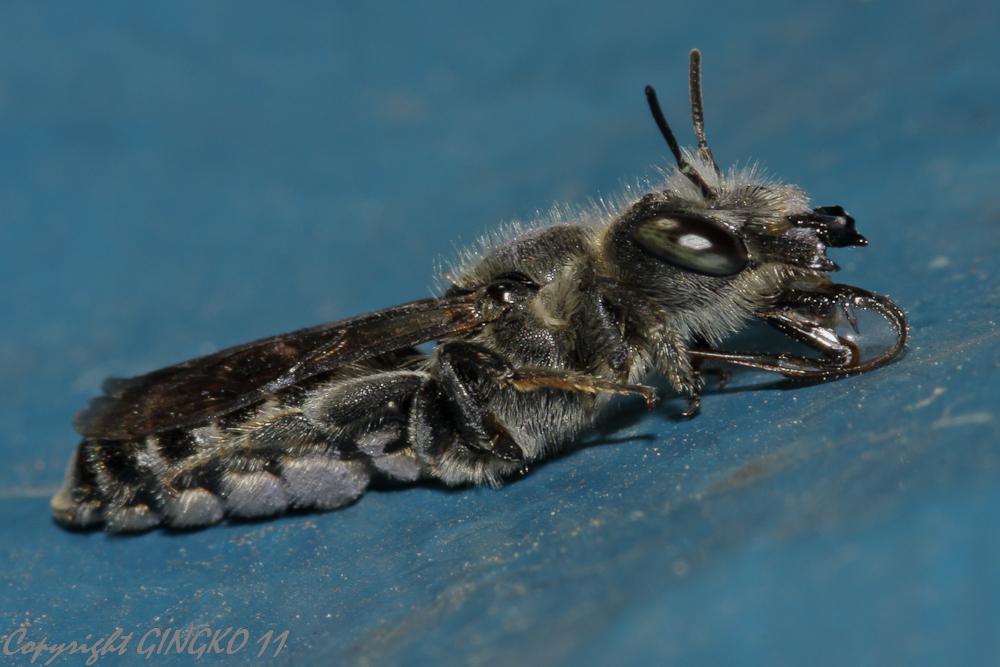Mauerbiene beim Schlabbern