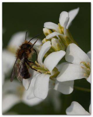 Mauerbiene Männchen