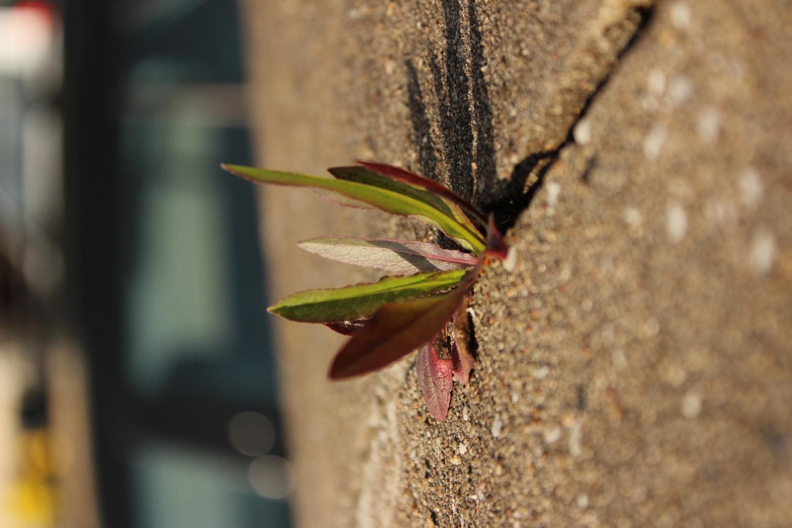 Mauerblume