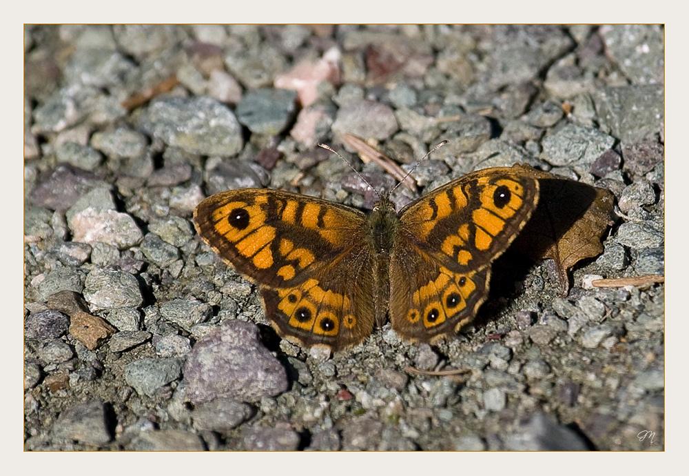 Mauerfuchs (Lasiommata megera)