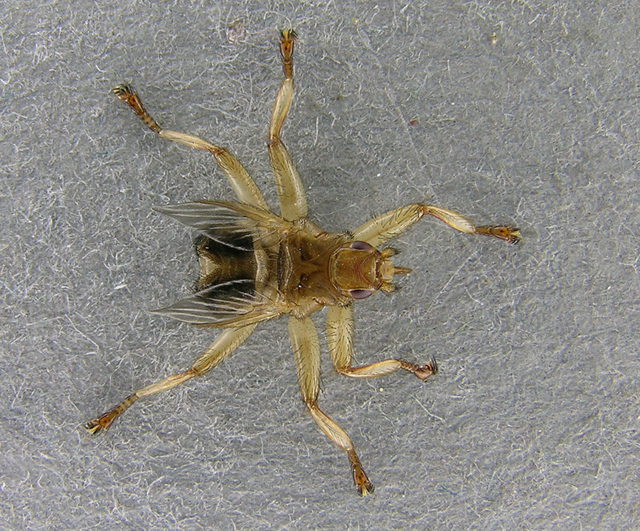 Mauerseglerlausfliege  (Crataerhina Pallida) Reload